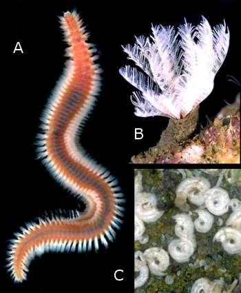 The Sea Slug Forum Polychaete Worms Bristle Worms