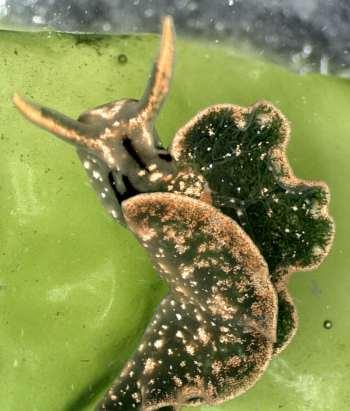 The Sea Slug Forum - Elysia hirasei