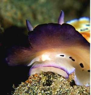the sea slug forum mouth parts of some chromodorids