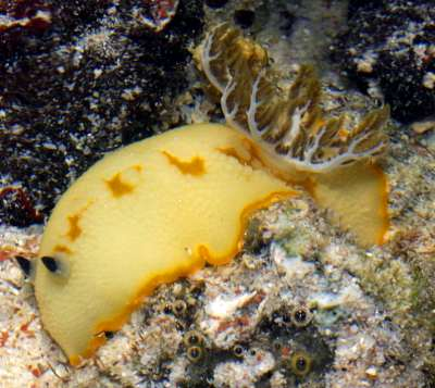 the sea slug forum taringa caudata